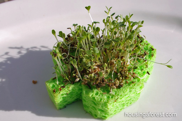 Shamrock Sprouts  ~ St Patricks Day Activity
