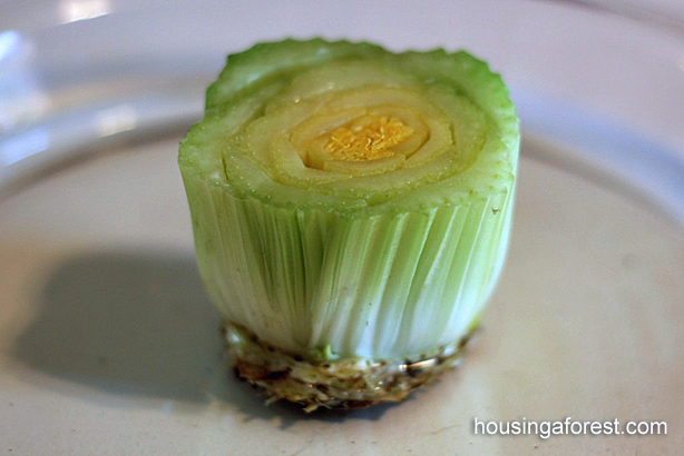 Regrowing Celery ~ how to  grow food from kitchen scraps