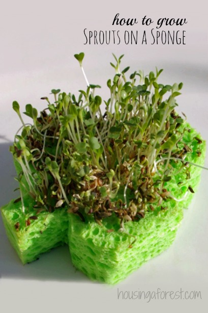 Shamrock Sprouts ~ how to grow Sprouts on a sponge