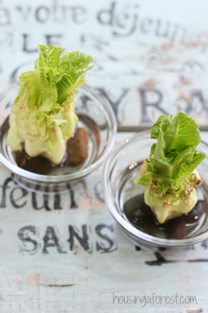 how to grow romaine lettuce from scraps