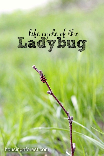 ladybug life cycle ~ Observing ladybugs with kids